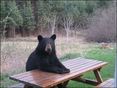 jokes_bear_at_picnic_table_thumb